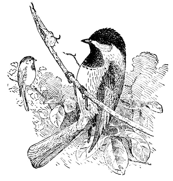 chickadee bird coloring pages - photo#30