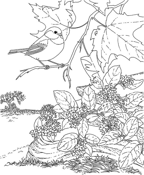 Realistic Bird Coloring Pages Beauteous Beautiful Chickadee Bird Coloring Page  Download & Print Online .