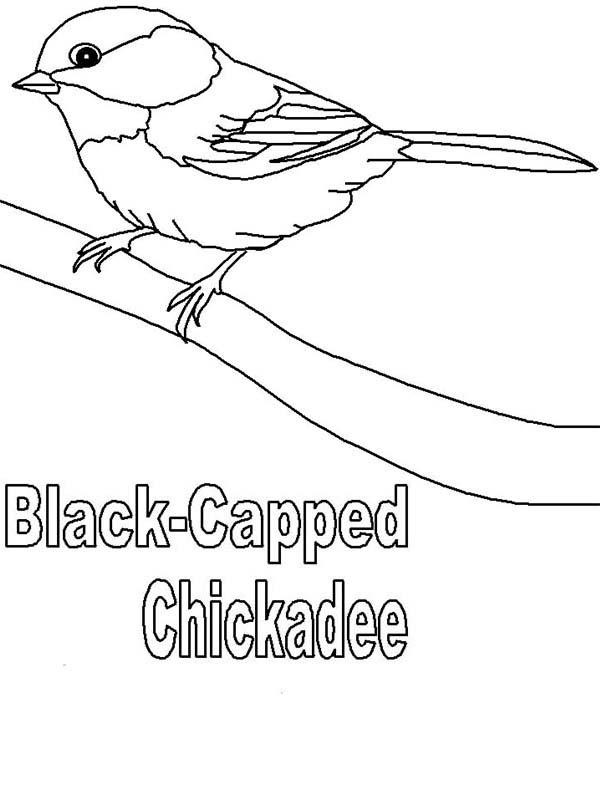 chickadee bird coloring pages - photo#23