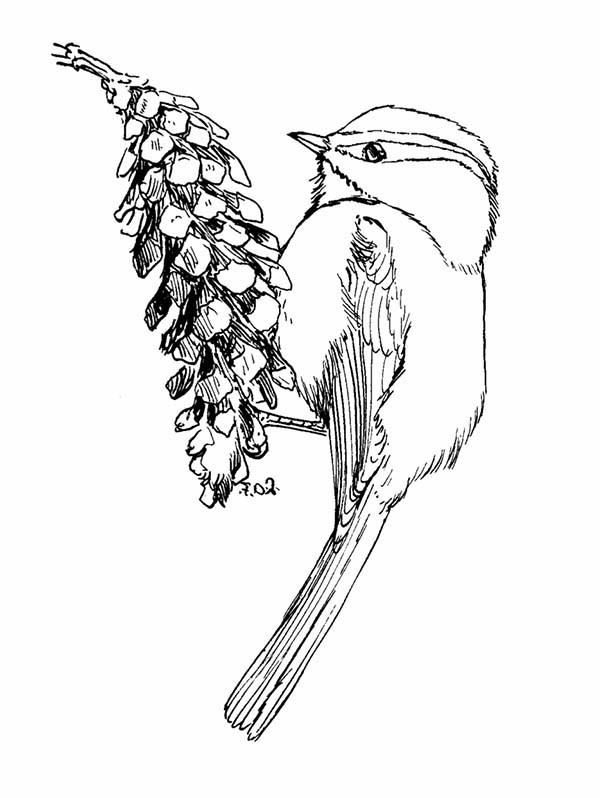 chickadee bird coloring pages - photo#14