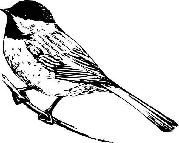 Realistic Drawing of a Chickadee Coloring Page Download Print