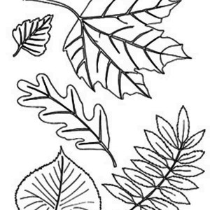 Different Type of Autumn Leaf Coloring Page