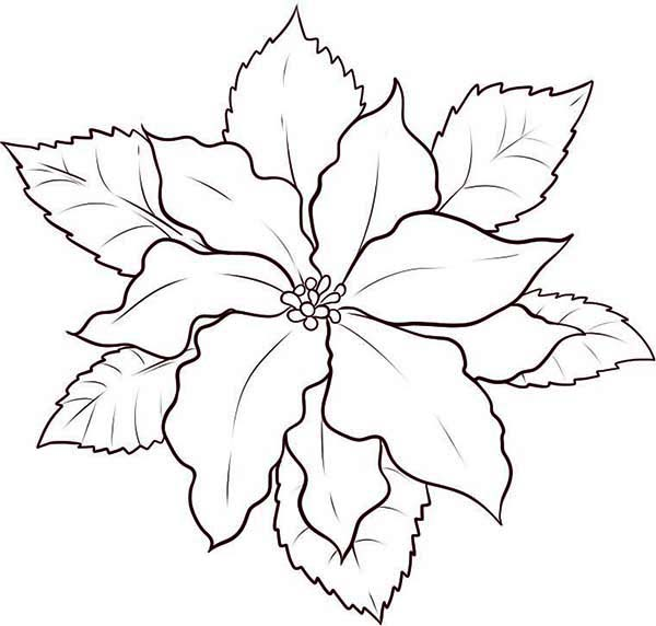 Christmas Flower Line Drawing : National flower of trinidad and tobago free coloring pages