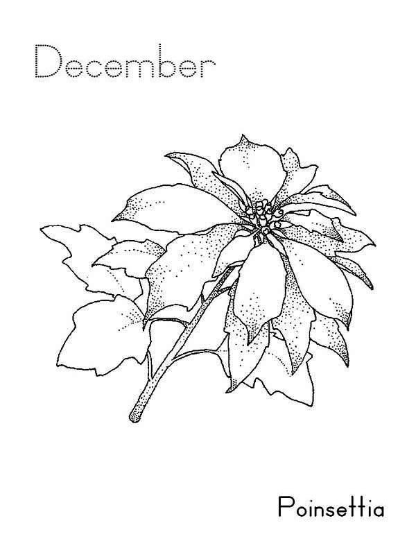 Poinsettia Flower on December Coloring Page Download