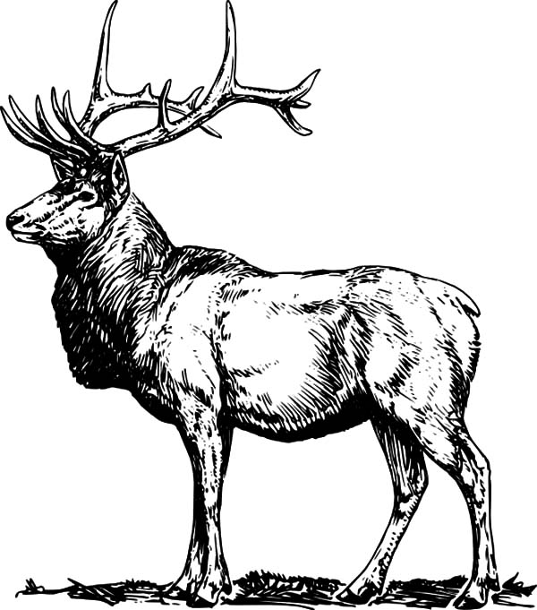 Alpha Male Elk Coloring Pages Download Print Online Coloring