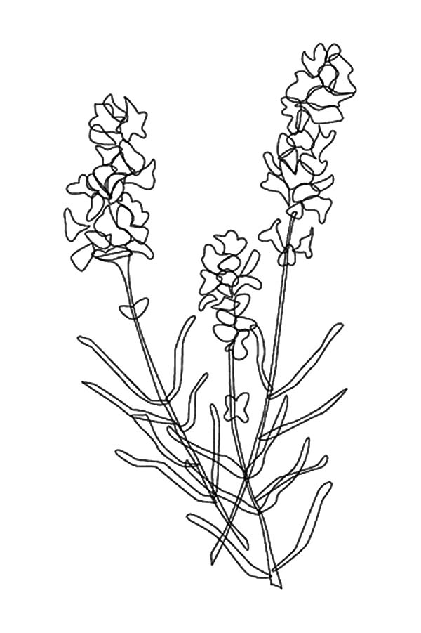 Line Drawing Lavender : Awesome lavender flower coloring pages download print