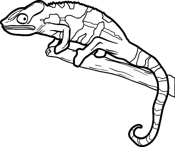 beautiful color lizard coloring pages