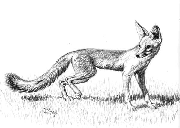 Coloring Pages Canadian Animals : Beautiful kit fox sketch coloring pages download print online