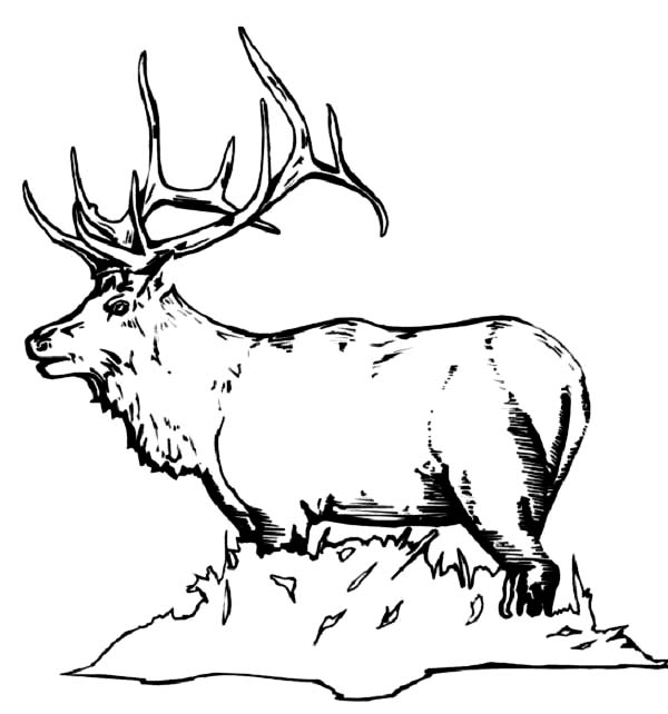 Bull elk coloring pages download print online coloring for Elk coloring pages
