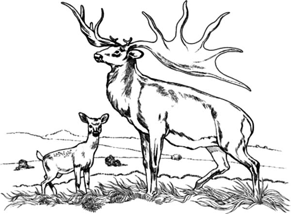 Bull Elk and Baby Elk Coloring Pages Download Print Online