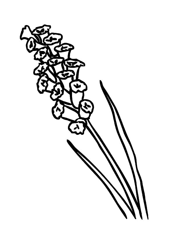 Canary Island Lavender Flower Coloring Pages
