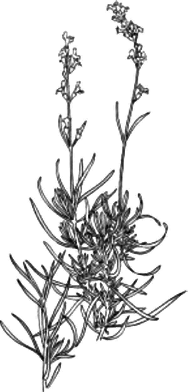 Cape Verde Lavender Flower Coloring Pages