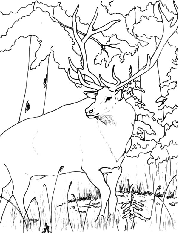Elk Looking for Food in Forest Coloring Pages