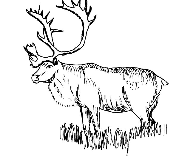 Download online coloring pages for free part 14 for Elk coloring pages