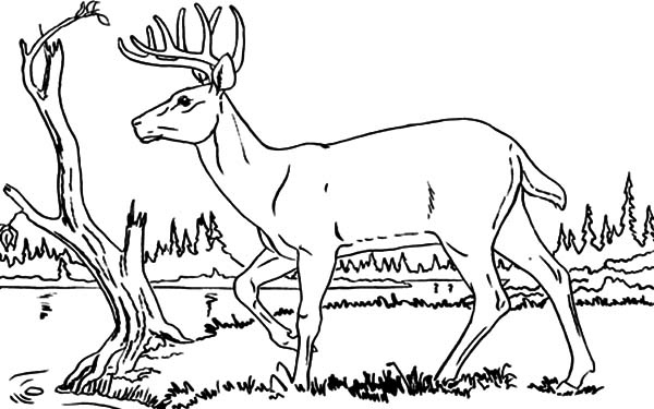 Drawing Young Elk Coloring Pages Drawing Young Elk Coloring Pages