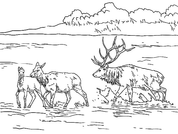 Sketch of bull elk coloring pages for Elk coloring pages