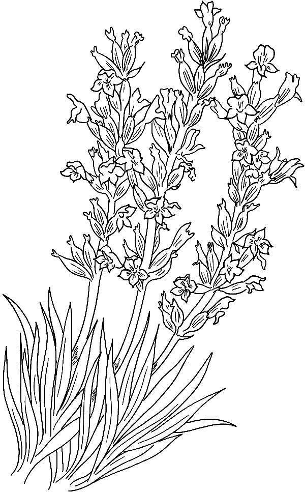 Implantation Lavender Flower Coloring Pages - Download & Print ...
