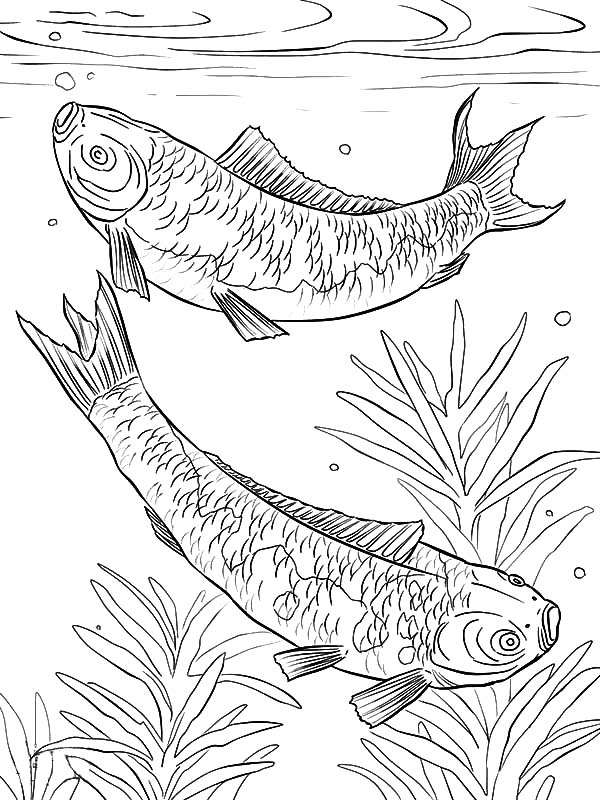 Koi Fish Mating In The Pond Coloring Pages