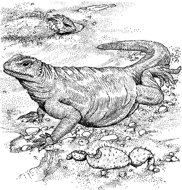 Komodo Dragon Full Stomach Coloring Pages PagesFull