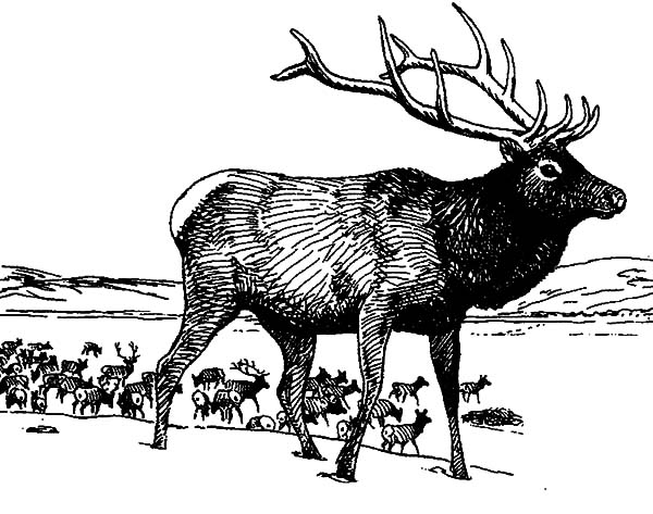 Large Group of Elk Coloring Pages