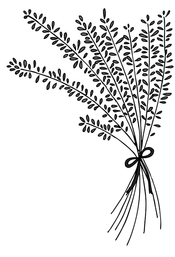 Line Drawing Lavender : Lavender coloring pages