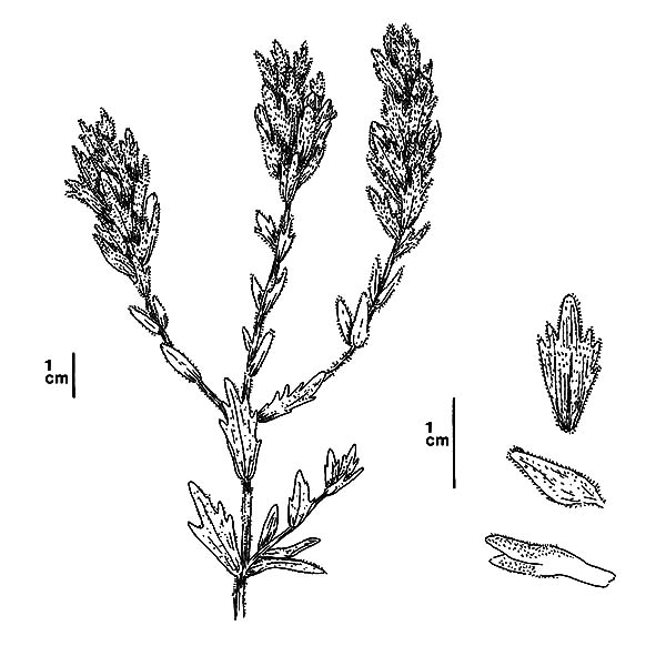 lavender flower coloring pages