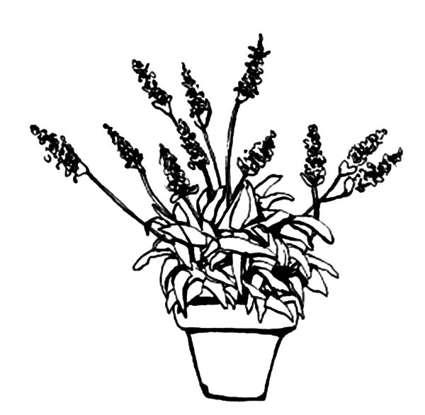 coloring pages of lavender - photo#25