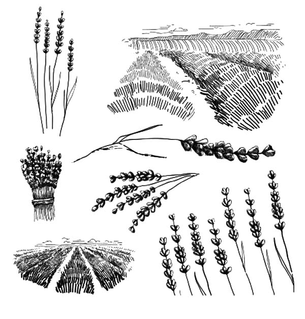 lavender flower field coloring pages
