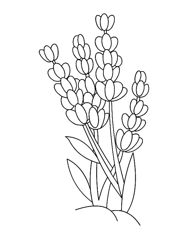 lavender flower outline coloring pages