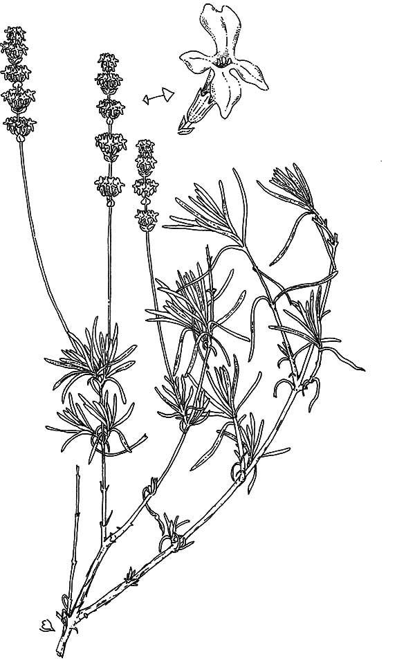 Lavender Flower Pure Essential Oil Lavandula Coloring Pages ...