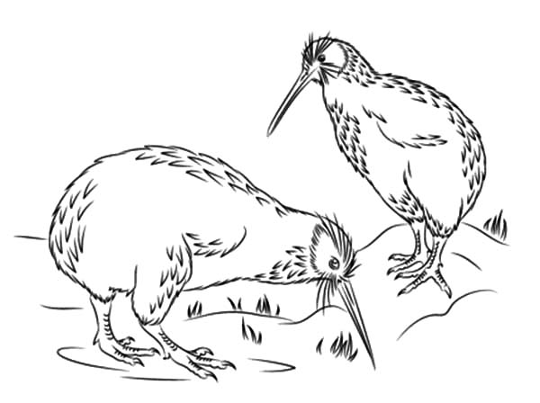 Little Spotted Kiwi Bird Coloring Pages Download Print Online
