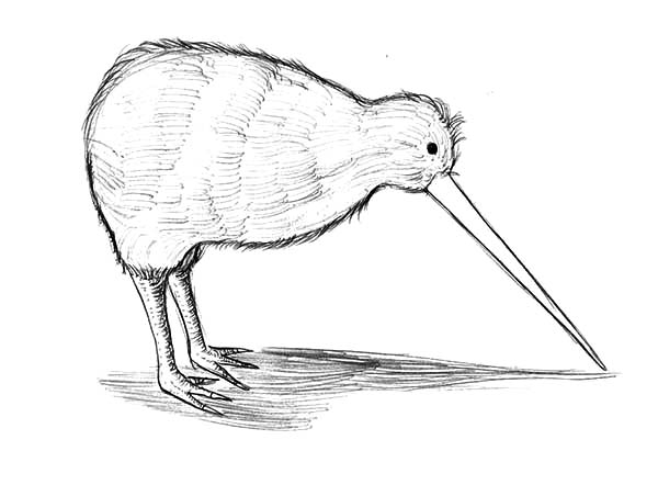 Colouring Pictures Of Kiwi Birds : Long beak kiwi bird coloring pages download print