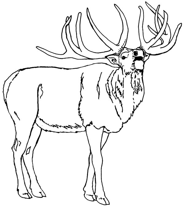 elk coloring pages north american elk coloring pages download print