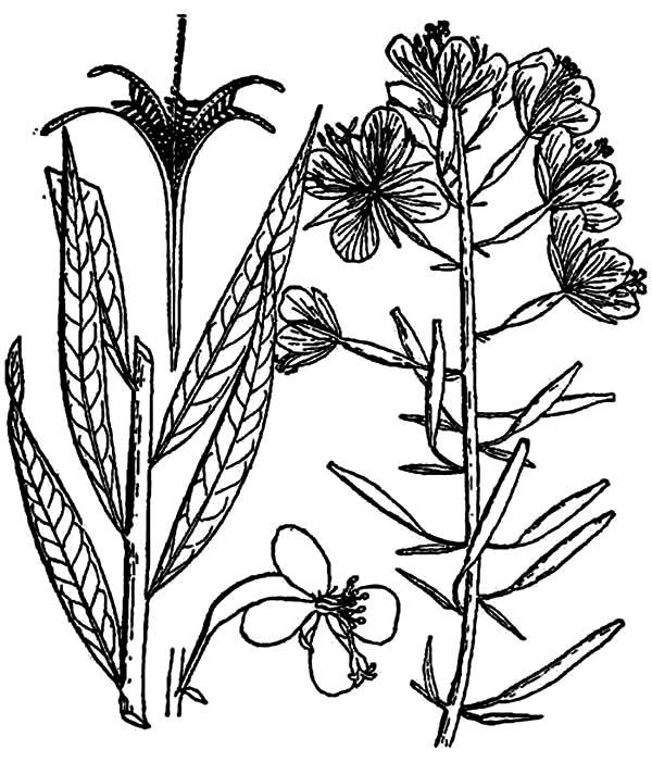 Preschooler Lavender Flower Coloring Pages