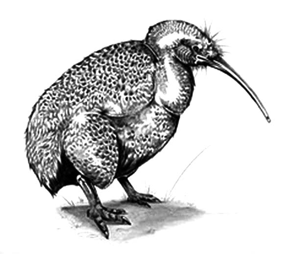 Little Spotted Kiwi Bird Coloring Pages: Little Spotted Kiwi Bird ...