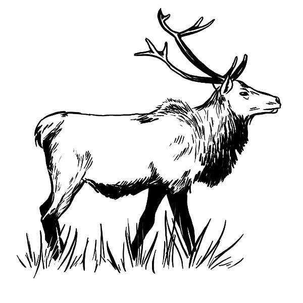 Bull Elk and Baby Elk Coloring Pages Bull Elk and Baby Elk