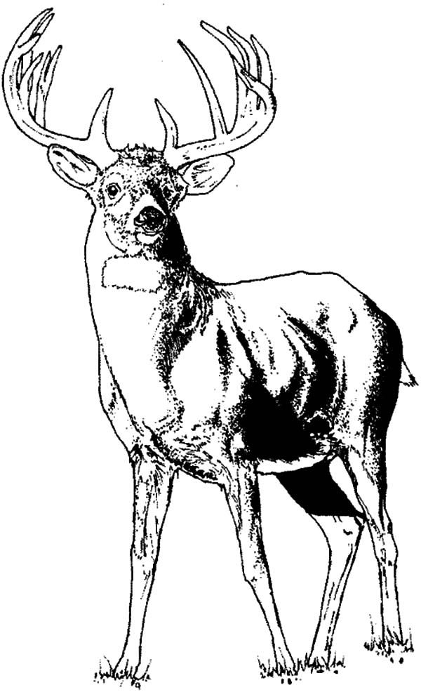 Young Elk Coloring Pages