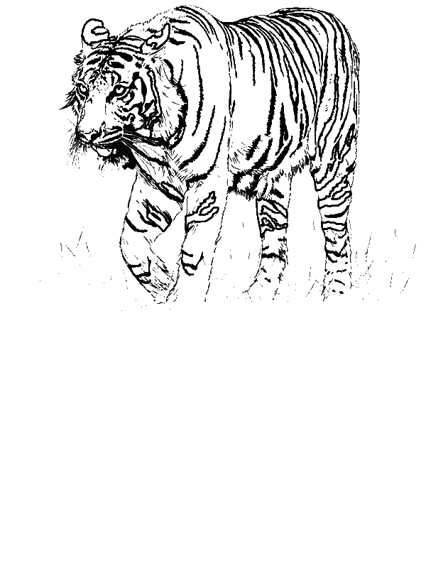 A Realistic Drawing of Bengal Tiger Coloring Page Download