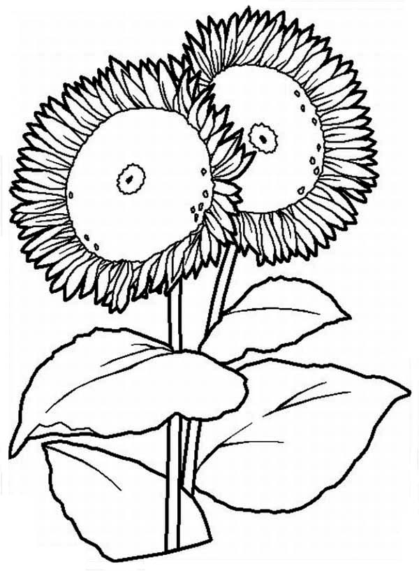 Two Big Sunflower Coloring Page Download Amp Print Online