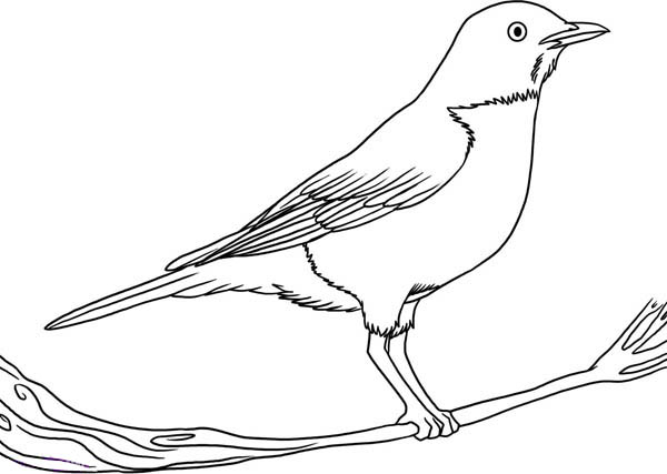 How To Draw Robin Bird Coloring Page - Download & Print ...