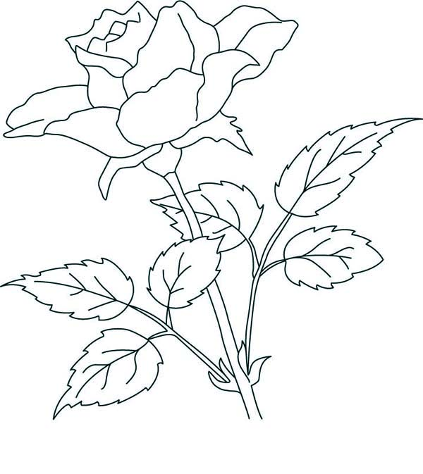 What A Lovely Thing A Rose Coloring Page - Download ...