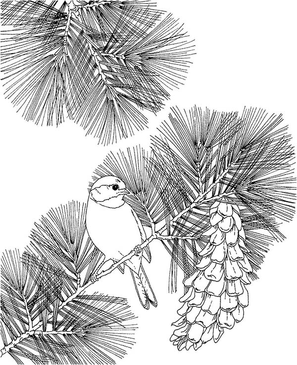 kids under pine trees coloring pages | Chickadee Sit On Pine Tree Coloring Page - Download ...