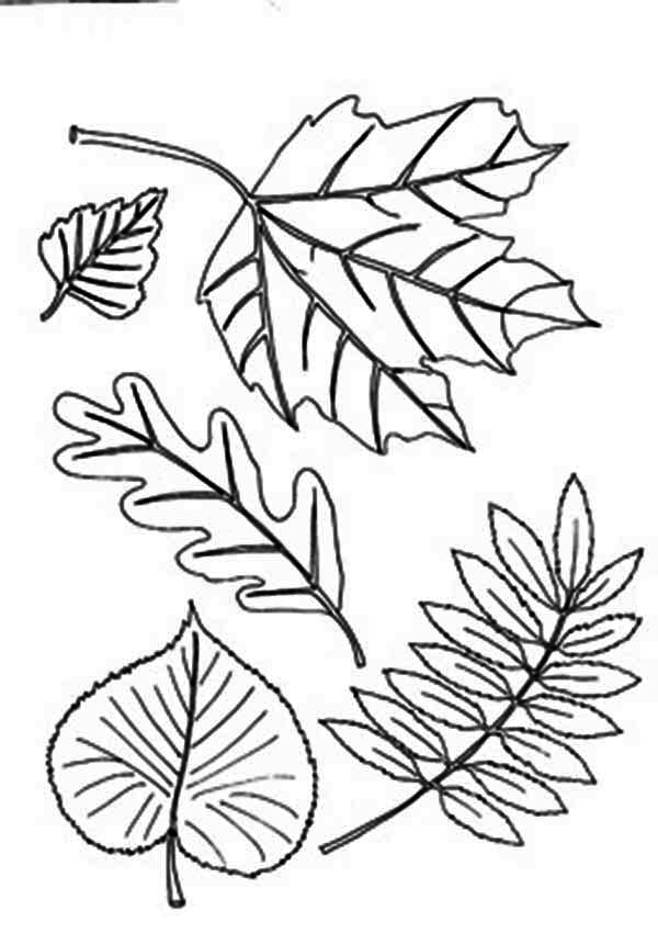 Different Type Of Autumn Leaf Coloring Page - Download ...