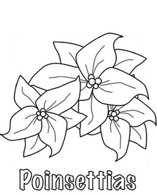 How To Sketch Poinsettia Flower Coloring Page - Download ...